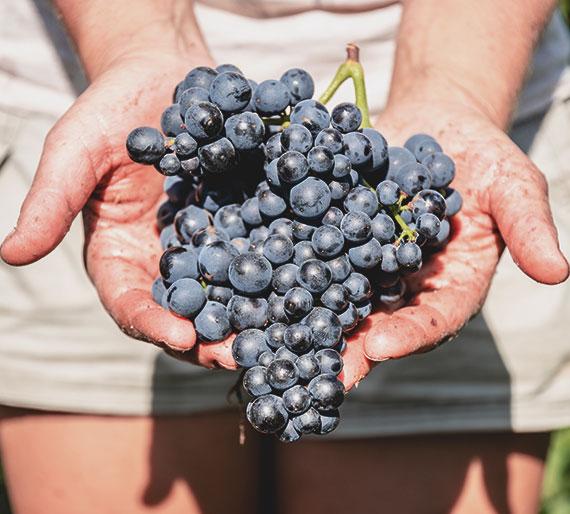Grappe de raisin portée par Mélanie Drémont lors de la vendange 2019 à Charly-Sur-Marne