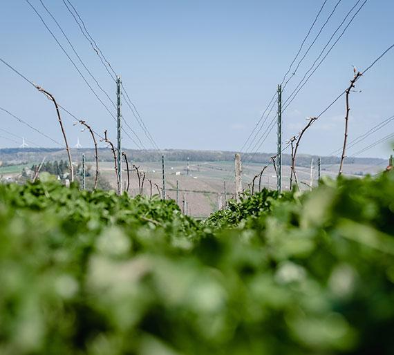 Trèfle dans une vigne à Charly-sur-Marne, Champagne Drémont-Marroy