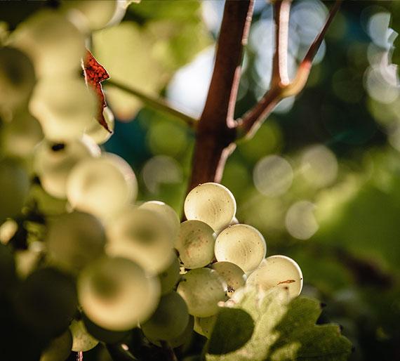 Grappe de Chardonnay, Champagne Drémont-Marroy