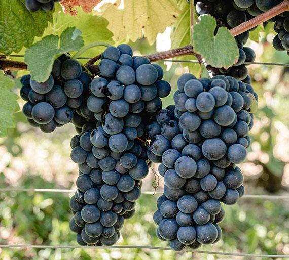 Grappes de Pinot Noir, cépage de Champagne. Champagne Drémont-Marroy