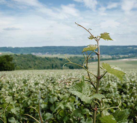 Vignoble Crouttes-sur-Marne, Champagne Drémont-Marroy