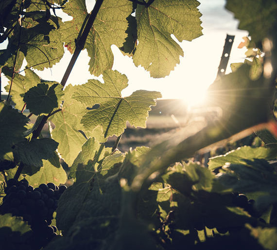Coucher de soleil vigne en champagne. Champagne Drémont-Marroy