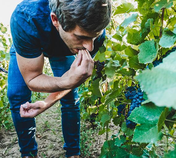 Vigneron goute le raisin avant vendange Charly-sur-Marne. Champagne Drémont-Marroy