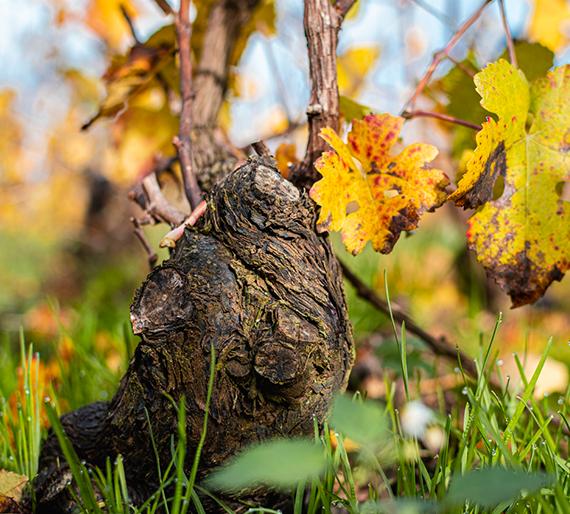 Pied de vigne en automne, Champagne Drémont-Marroy