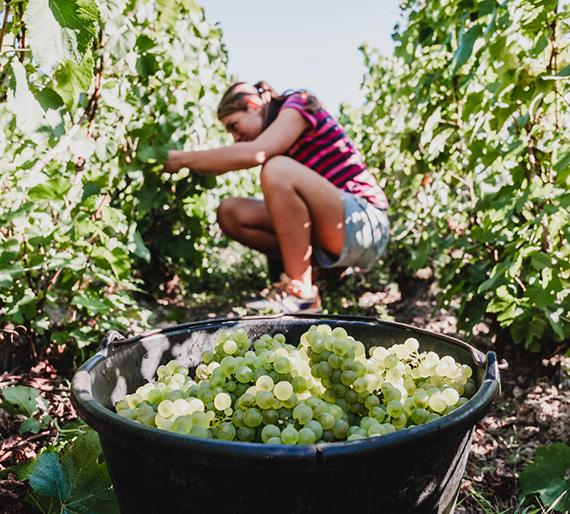 Melanie Drémont en train de cueillir les grappes de raisins pendant les vendanges. Champagne Drémont-Marroy