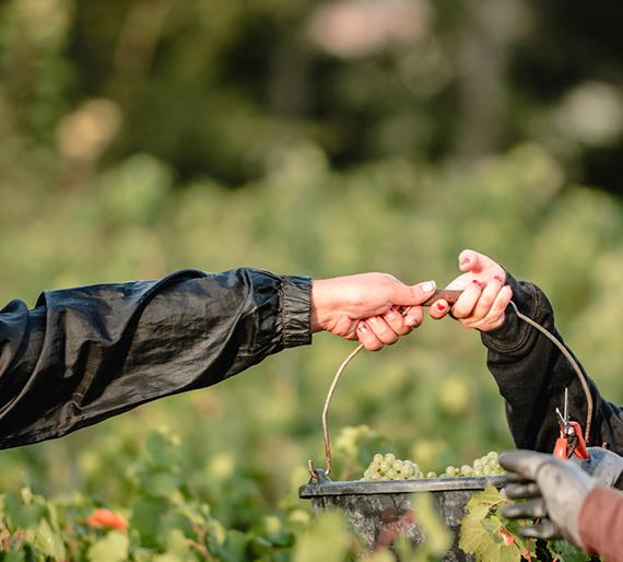 Les vendangeurs se passent un seau plein de raisin lors des vendanges. Champagne Drémont-Marroy