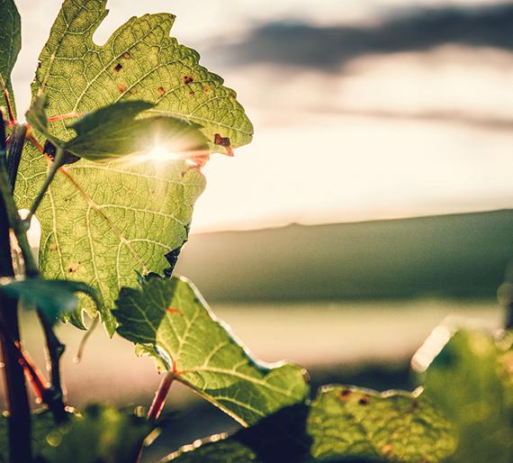 Pied de vigne à l'automne, Champagne Drémont-Marroy
